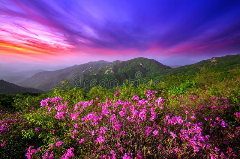 Den härliga rosa färgen blommar på berg på solnedgången, det Hwangmaesan berget i Korea royaltyfria foton