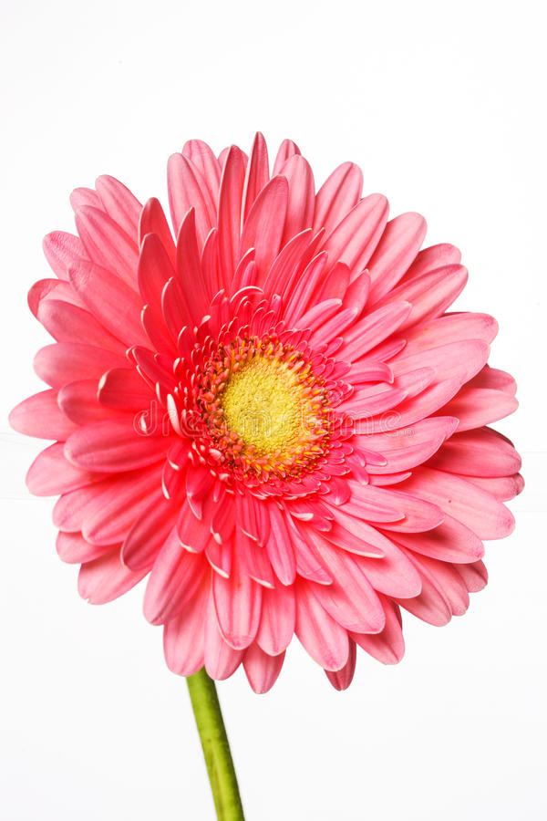 Den härliga rosa gerberaen blommar på vit arkivbilder