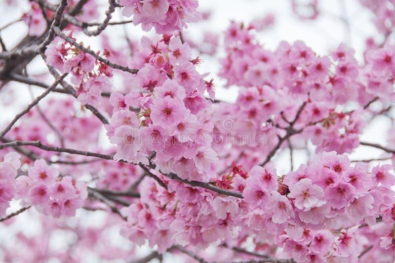 Den härliga rosa körsbärsröda blomningen sakura för full blom blommar royaltyfria foton