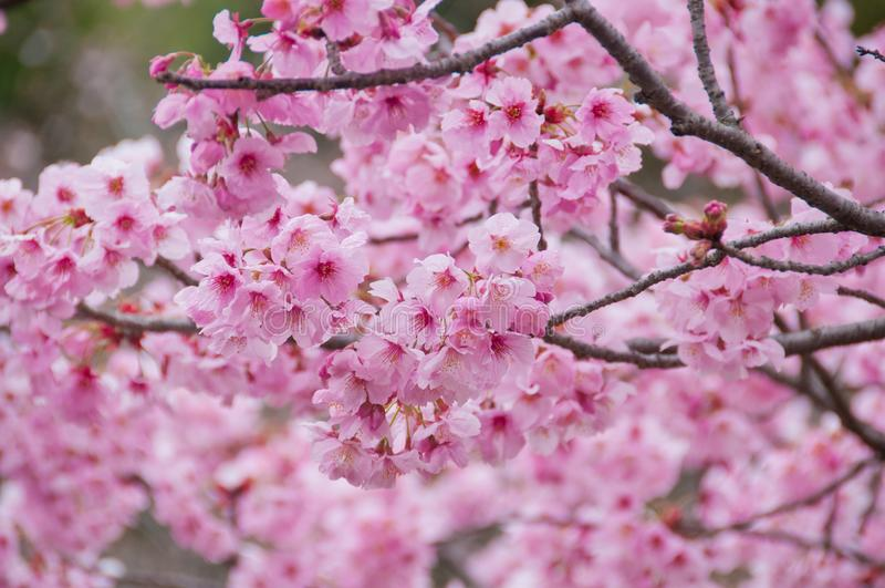 Den härliga rosa körsbärsröda blomningen sakura för full blom blommar arkivbilder
