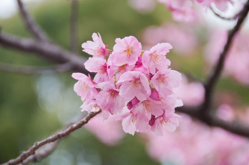 Den härliga rosa körsbärsröda blomningen sakura för full blom blommar arkivfoton