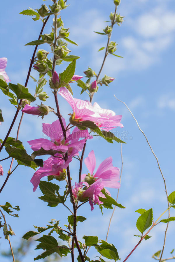 Den härliga rosa stockrons blommar i trädgården royaltyfria foton