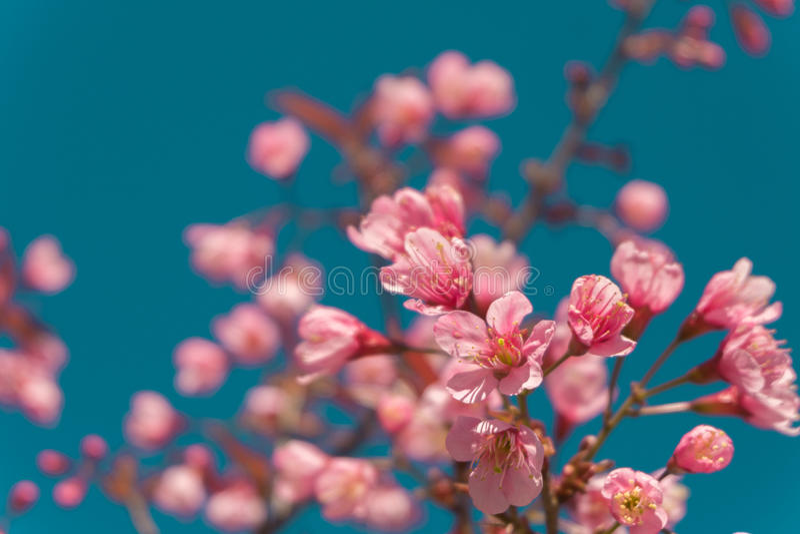 Den härliga rosa vita körsbärsröda blomningen blommar trädfilialen i trädgård med blå himmel, Sakura naturlig vintervårbakgrund arkivbild