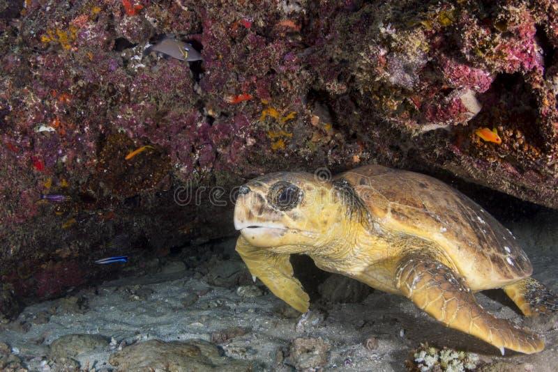 Den härliga sköldpaddan vilar i korallreven royaltyfri foto