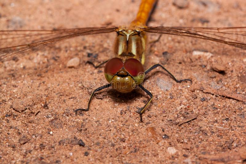 Den härliga sländan med genomskinliga vingar sitter på en sand Djur i djurliv arkivbilder