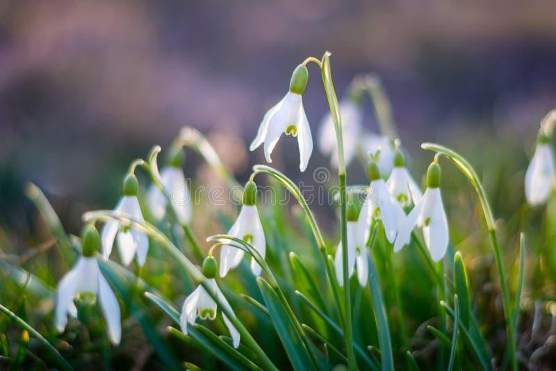Den härliga snödroppen blommar i vår royaltyfria foton
