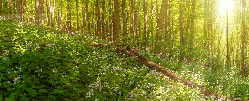 Den härliga sommarskogen av bokträdträdet och lunaria blommar i solljus Panorama av fantastisk skönhet av sommarskogen royaltyfria foton