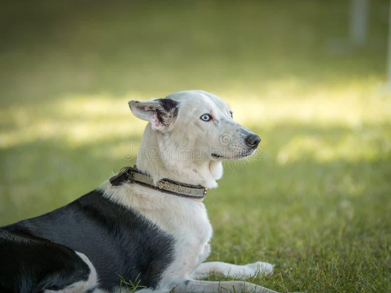 Den härliga spanska vinthunden som sitter i det naturliga gräset av, parkerar arkivfoton