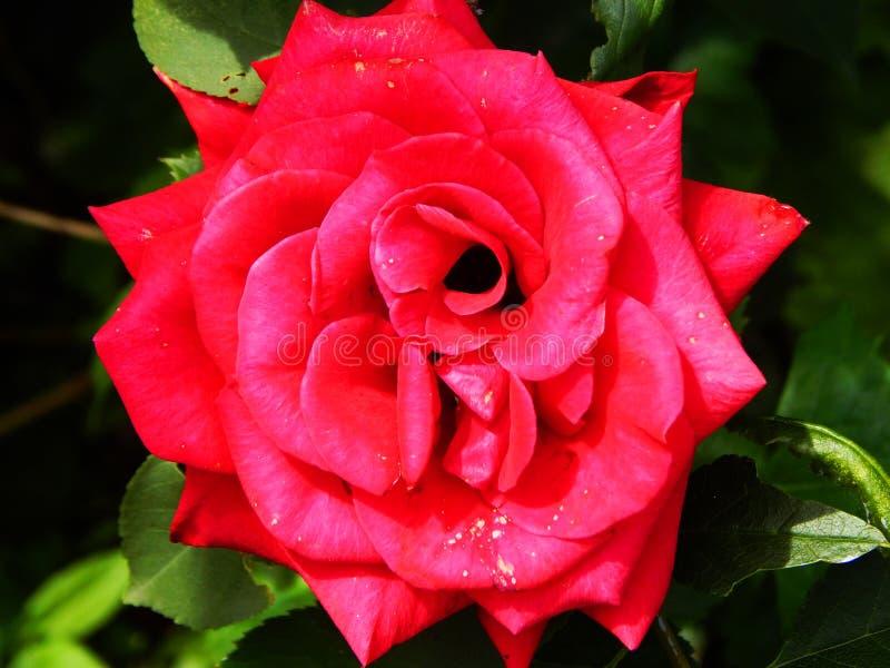 Den härliga stora röda rosen för drottning royaltyfri fotografi