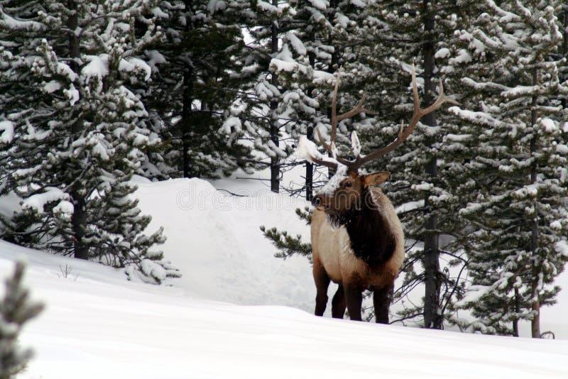 Den härliga stora tjurälgen i snöig Yellowstone parkerar arkivfoton