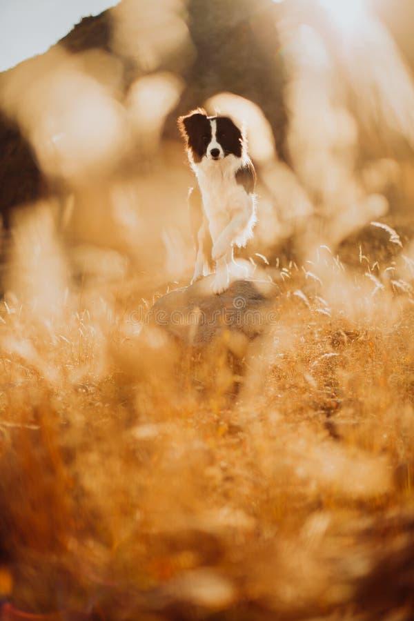 Den härliga svartvita hunden border collie sitter på en sten i öknen I bakgrundsbergen arkivfoto