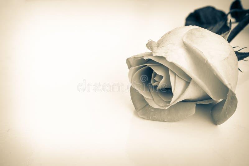 Den härliga svartvita rosen, ny blomma med vattendroppar, kan använda som att gifta sig bakgrund retro stil royaltyfria bilder