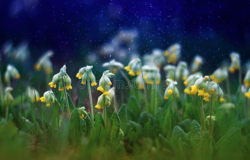 Den härliga tidiga nya gula blommaprimulan växer på vårgre fotografering för bildbyråer