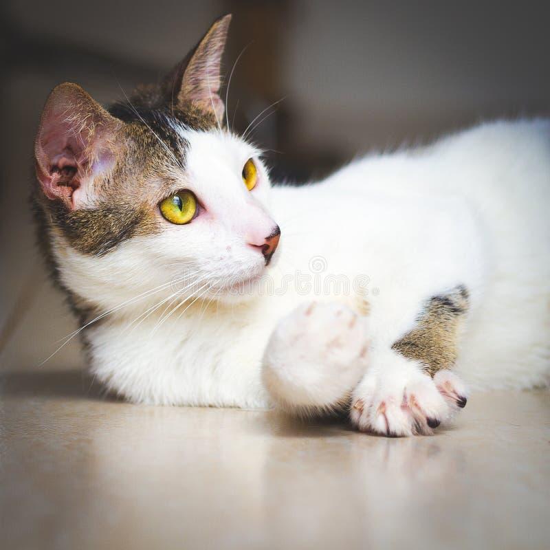 Den härliga tillfälliga katten lyftte dess tafsar upp royaltyfri fotografi