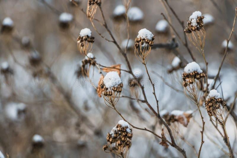 Den härliga torkade apelsinen och den gula blommasedumtelephiumen med vit snö är på den vita suddiga bakgrunden i vinter arkivbilder