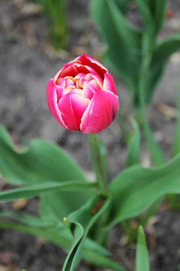 Den härliga tulpan är en av de första blommorna av våren royaltyfri foto