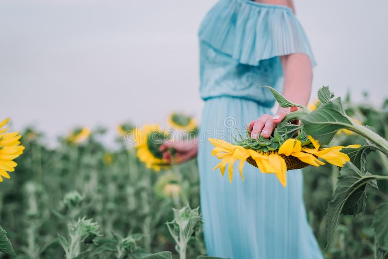 Den härliga unga kvinnan går i solrosfält royaltyfri fotografi