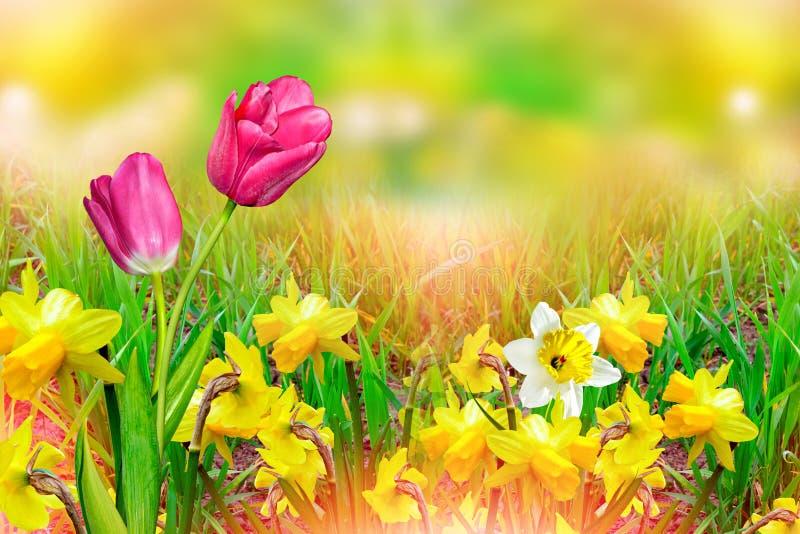 den härliga våren blommar påskliljor Gulna blommor royaltyfria bilder