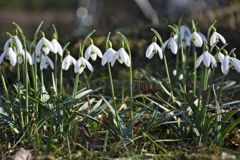 Den härliga våren blommar snödroppar, Galanthus nivalis arkivbilder