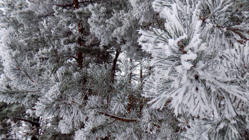 Den härliga vintern landscape Abstrakt pinjeskogbakgrund Sörjer filialtapeten royaltyfri bild