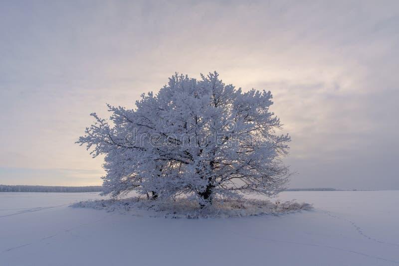 Den härliga vintern landscape ensamt snö-täckt träd i fältet royaltyfri bild