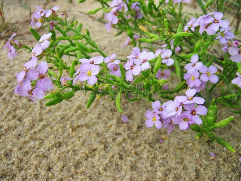 Den härliga violeten blommar i dyn, Litauen arkivbild