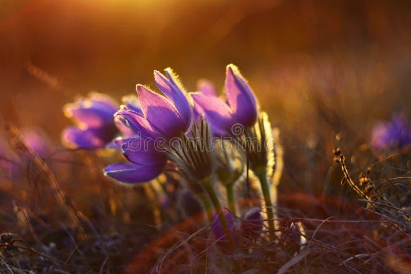 Den härliga violeten blommar på en äng på solnedgången Härlig naturlig färgrik bakgrund Grandis för Pulsatilla för Pasque blomma arkivfoto