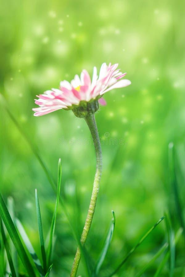 Den härliga vit- och rosa färgtusenskönan blommar i gräset Suddig bakgrund för solljus Mjuk fokusnaturbakgrund Delikat magiskt ti arkivfoton