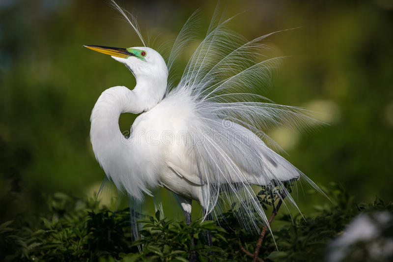 Den härliga vita ägretthägret i avelfjäderdräkt fluffar upp hans fjädrar på skärm arkivfoton