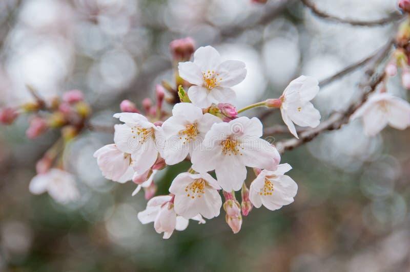 Den härliga vita körsbärsröda blomningen sakura för full blom blommar royaltyfria foton