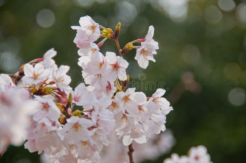 Den härliga vita körsbärsröda blomningen sakura för full blom blommar royaltyfri foto