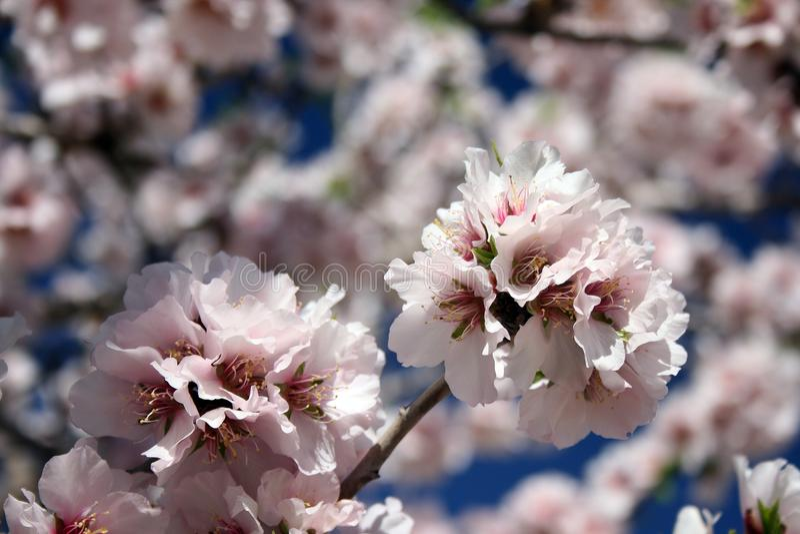Den härliga vita mandeln blommar i januari arkivbilder