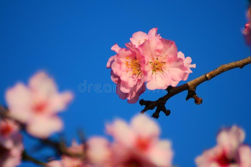 Den härliga vita mandeln blommar i januari royaltyfri bild