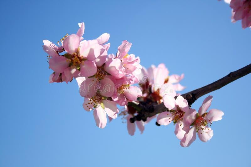 Den härliga vita mandeln blommar i januari arkivfoton