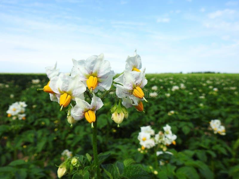 Den härliga vita potatisen blommar i fältet, Litauen arkivbild