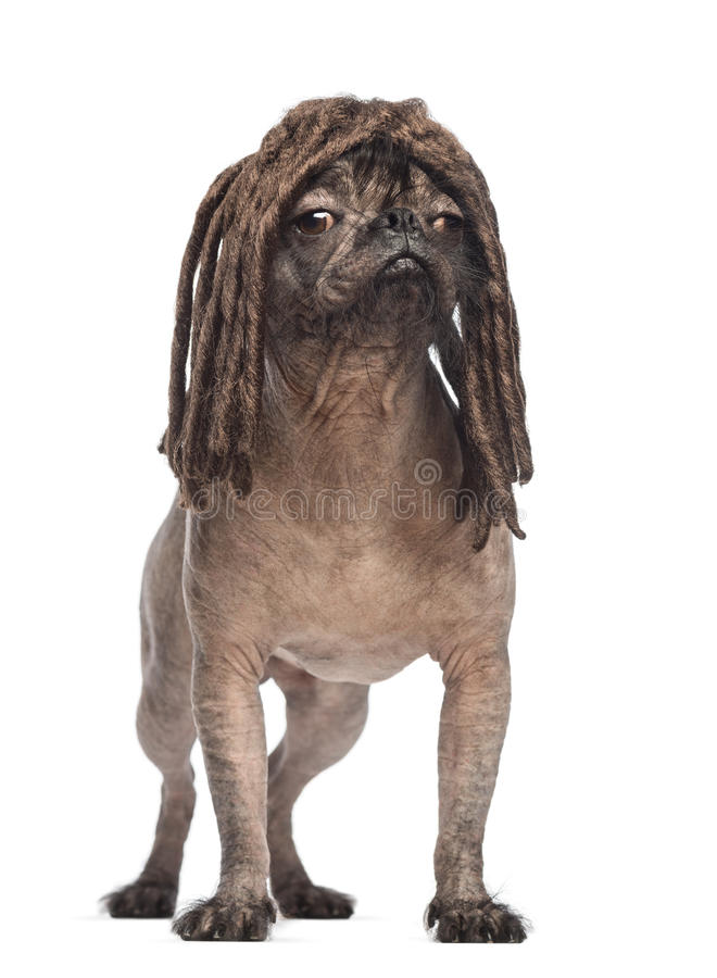 Den hårlösa Blandad-aveln förföljer, blandningen mellan en fransk bulldogg och en krönad kines förfölja och att stå royaltyfria bilder