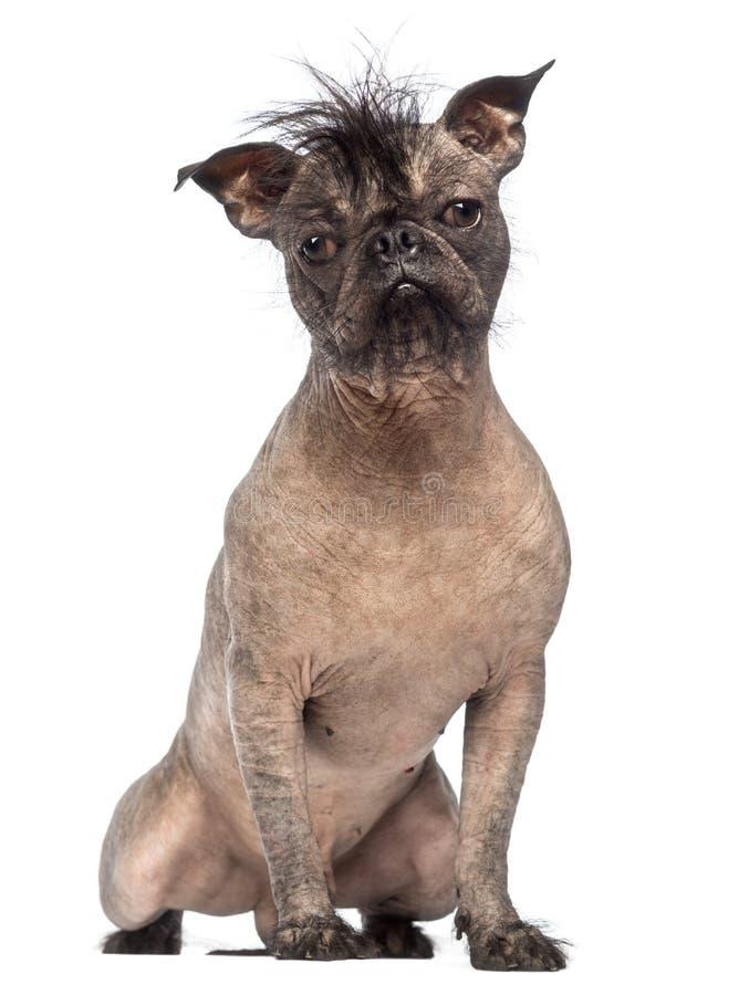 Den hårlösa Blandad-aveln förföljer, blandningen mellan en fransk bulldogg och en krönad kines förfölja, sammanträde och att se ka arkivbild