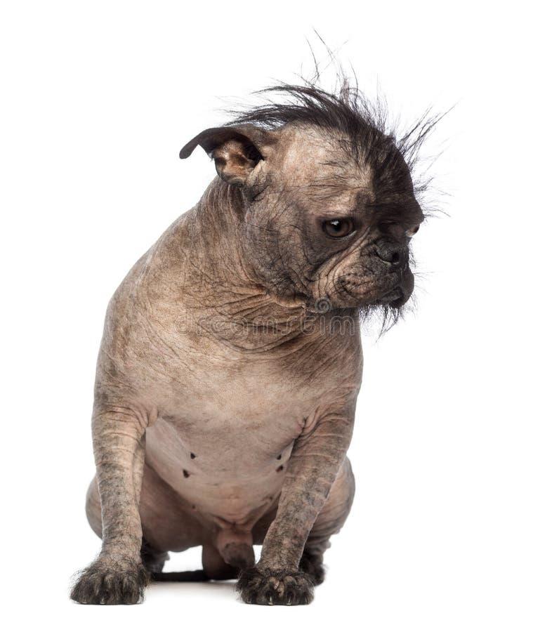Den hårlösa Blandad-aveln förföljer, förföljer blandningen mellan en krönade fransk bulldogg och kines, sammanträde, och se besegr arkivbilder
