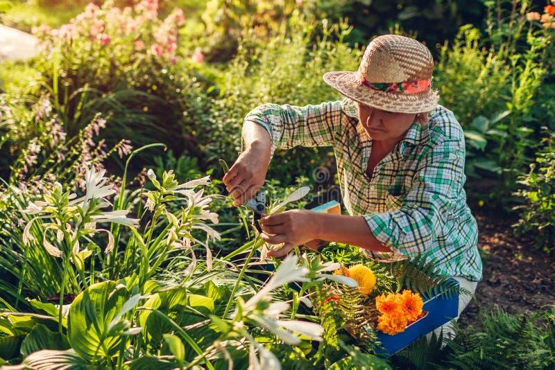 Den höga kvinnasammankomsten blommar i trädgård Bitande blommor för medelålders kvinna av att använda pruner arbeta i trädgården  royaltyfri bild