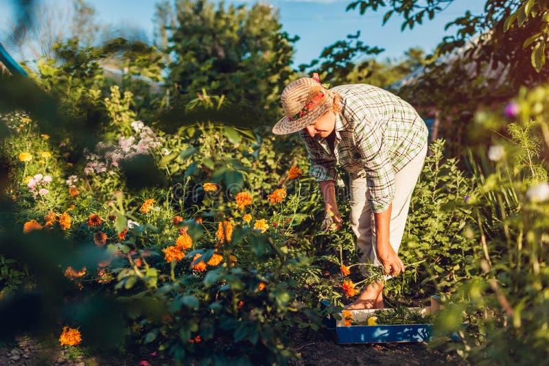 Den höga kvinnasammankomsten blommar i trädgård Bitande blommor för medelålders kvinna av att använda pruner arbeta i trädgården  royaltyfria foton