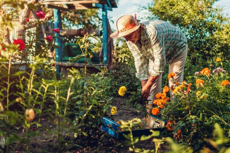 Den höga kvinnasammankomsten blommar i trädgård Bitande blommor för medelålders kvinna av att använda pruner arbeta i trädgården  royaltyfri fotografi
