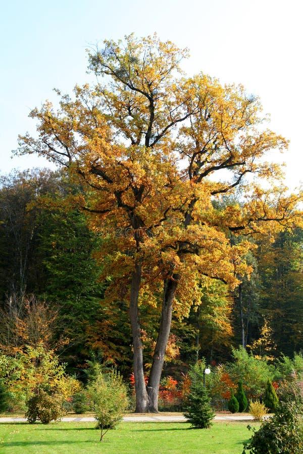 Den högväxta eken i parkerar i höst fotografering för bildbyråer