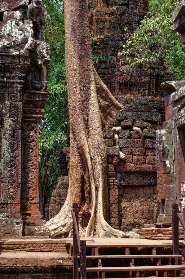 Den högväxta fikonträdet spirade till och med väggar i den Angkor templet royaltyfri fotografi