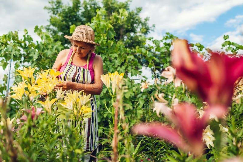 Den h?ga kvinnasammankomsten blommar i tr?dg?rd Medelåldersa trädgårdsmästareklippliljor av med pruner arbeta i tr?dg?rden f?r be royaltyfri foto