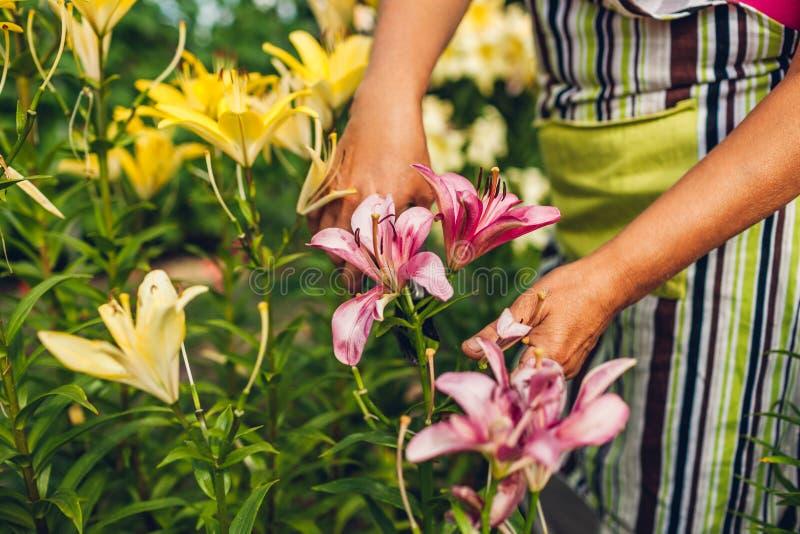 Den h?ga kvinnasammankomsten blommar i tr?dg?rd Medelåldersa trädgårdsmästareklippliljor av med pruner arbeta i tr?dg?rden f?r be royaltyfria foton