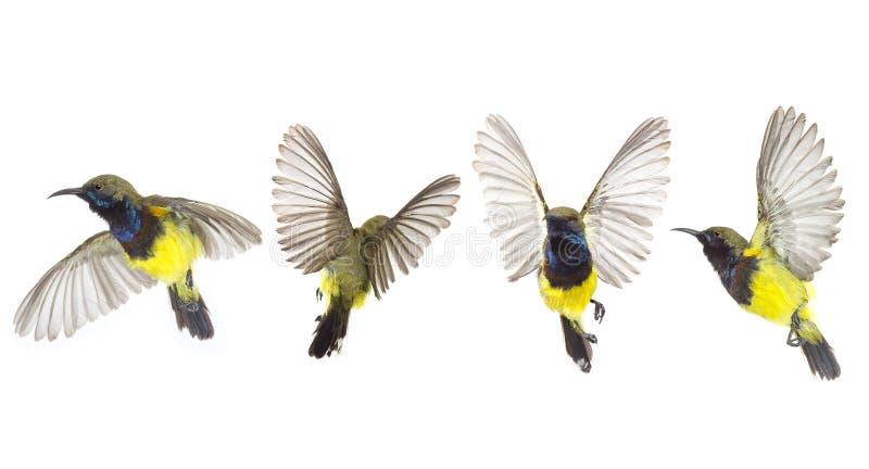 Den h?rliga flyga f?geln Oliv-drog tillbaka den Sunbird isolaten p? vit bakgrund Samlingsflygf?geln vektor illustrationer