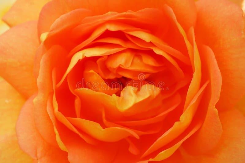 den h?rliga orangen steg royaltyfria bilder
