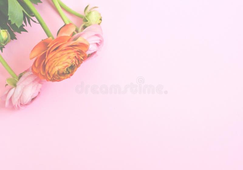 Den h?rliga ranunculusen blommar p? rosa bakgrund Lekmanna- l?genhet, b?sta sikt royaltyfria bilder