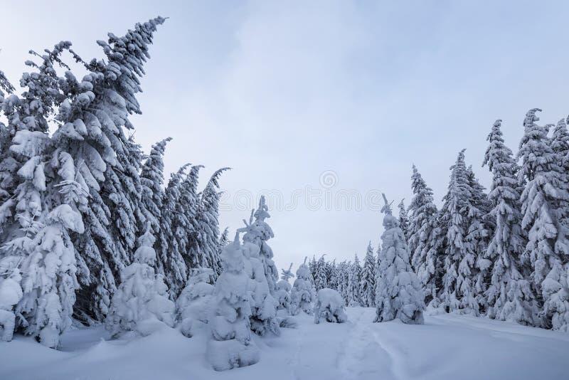 Den h?rliga vintern landscape Tät bergskog med högväxt mörkt - gröna prydliga träd, bana i vit ren djup snö på ljust fotografering för bildbyråer