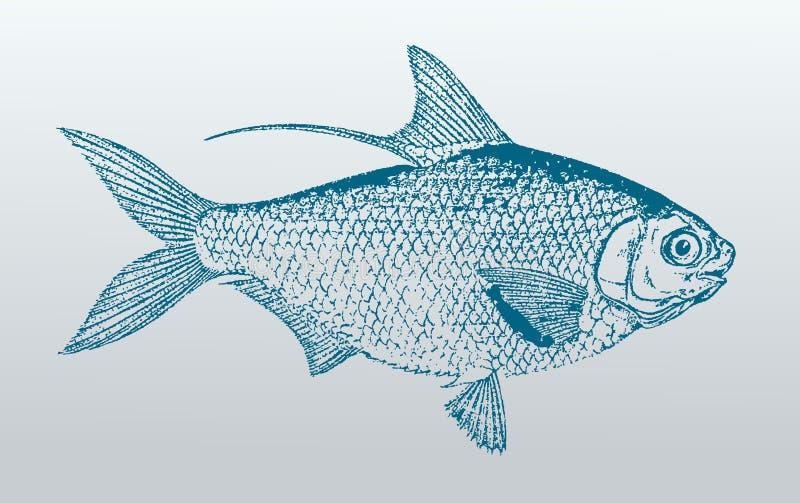 Den Hairback sillen eller den västra Stillahavs- nematalosaen för muskelmageshad kommer, en fisk från Australien i profilsikt stock illustrationer